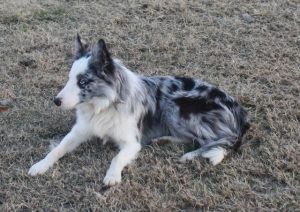 Seven Links Ranch Border Collies